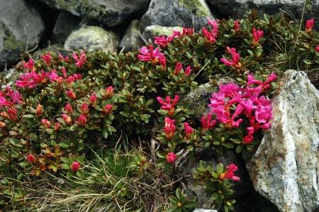 Rhododendron in Retezat National Park, Romania Stock Photo - 17294991