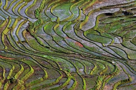 Terraced rice fields in Sapa, Vietnam  photo