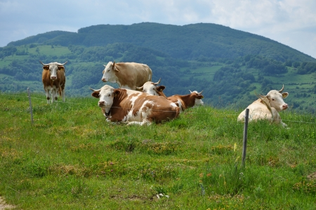 electric fence: Cows pasture behind electric fence