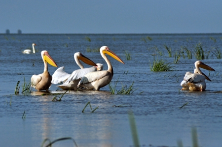 Great white pelicans in the Danube Delta Stock Photo - 20542040
