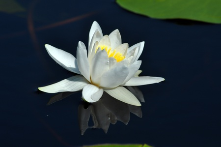Water lily in the Danube delta photo