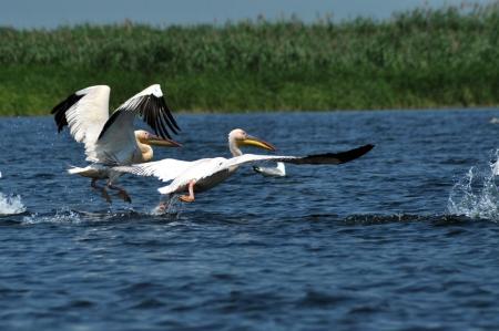 danube delta: Great white pelicans in the Danube Delta