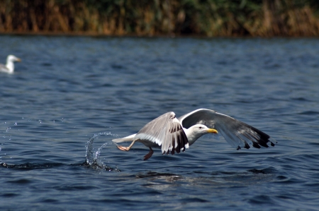 Flying seagull in the Danube delta reserve photo