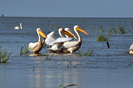Great white pelicans in the Danube Delta Stock Photo - 20751539