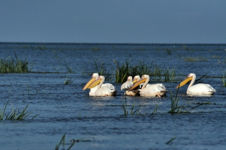 Great white pelicans in the Danube Delta photo