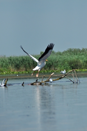 Flying great white pelicans in the Danube Delta  photo