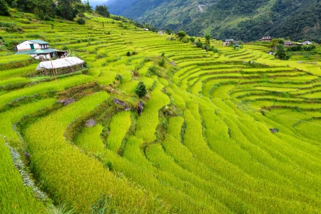 Terraced rice fields  Himalayas, Nepal  Stock Photo