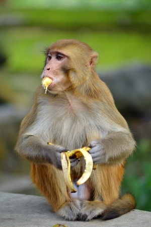 eating banana: Monkey eating banana