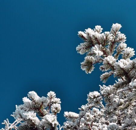 Snow covered fir branch against blue sky photo