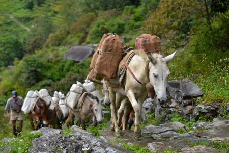 Chomrong - 6 oktober Een herder met een karavaan ezels dragen van zware goederen, voedsel en apparatuur in de Annapurna Base Camp, Himalaya gebergte op 6 oktober 2013 in Chomrong, Nepal