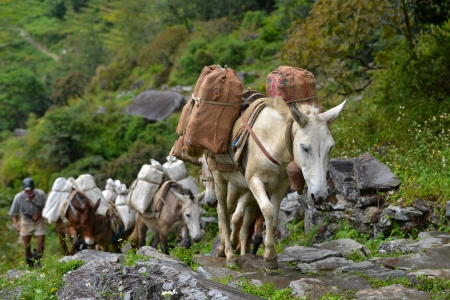 CHOMRONG - OCT 6  A shepherd with a caravan of donkeys carrying heavy supplies, food and equipment in the Annapurna Base Camp, Himalaya mountains  On Oct 6, 2013 in Chomrong, Nepal