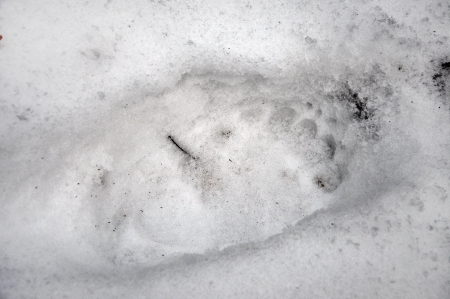 A bear foot step in the snow photo
