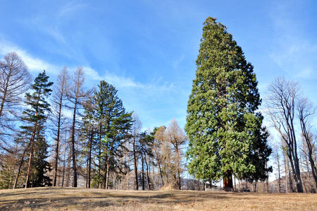 Giant sequoia in an arboretum photo