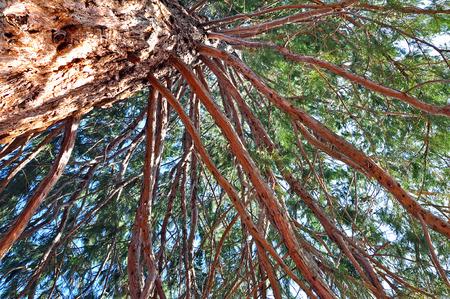 Giant sequoia in an arboretum photo