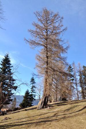 Giant fir in an arboretum photo