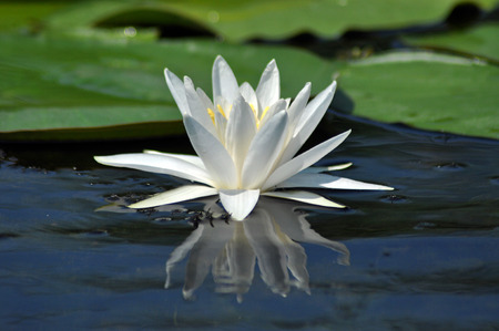 Water lily in the Danube delta, Romania photo