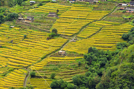 Terraced rice field ready for harvesting in the Himalayas, Nepal photo