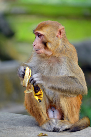 Macaque monkey eating banana photo