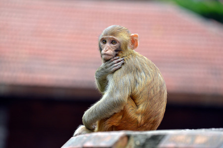Macaque monkey in Swayambhunath photo