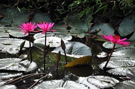 Pink lotus flower, water lily in the Mekong delta photo