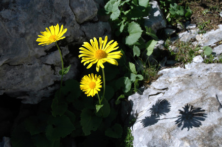 Beautiful yellow arnica flower in the mountains photo