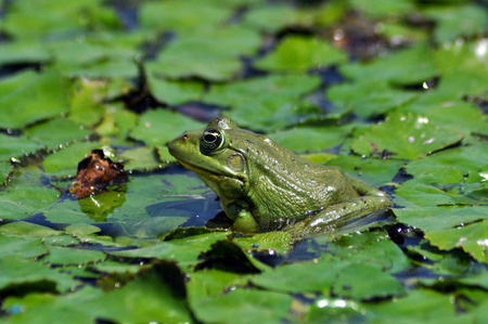 Green bullfrog standing on green water lily leaves  photo