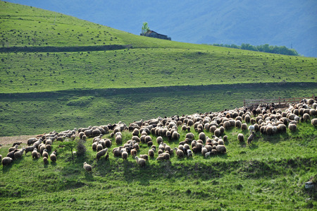 Herd of sheep in a meadow photo