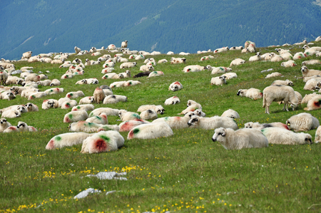 shepperd: Herd of sheep in the mountains. Romania Stock Photo