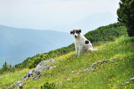 White dog in the mountains. Transylvania, Romania photo