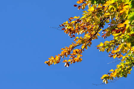 Yellow autumn leaves against blue sky photo