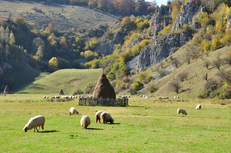 Flock of merino sheep pasture at autumn photo