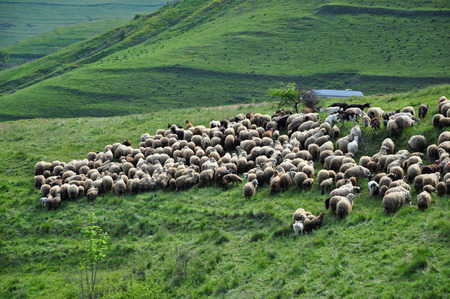 Flock of sheep in the pasture. Romania