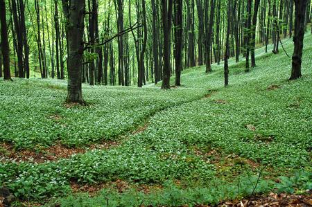 Wild garlic in spring forest photo