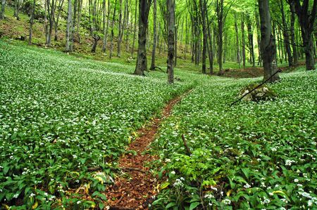 Blooming wild garlic in forest photo