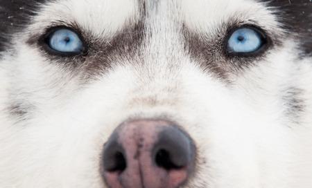 Siberian husky portrait photo
