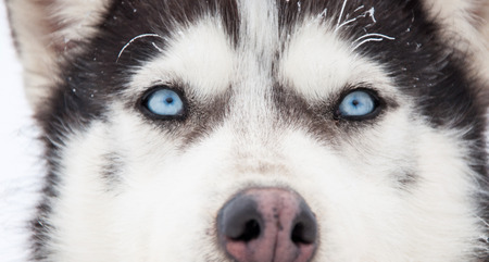 Husky portrait photo