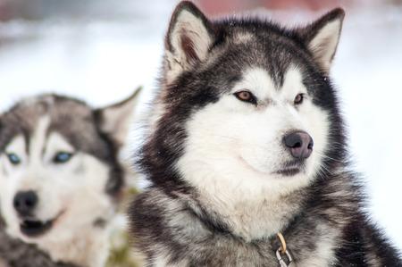 wolf face: Husky Stock Photo