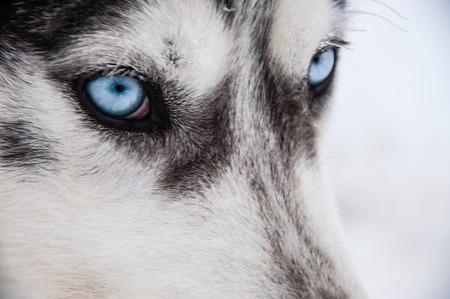 Siberian Husky close-up photo