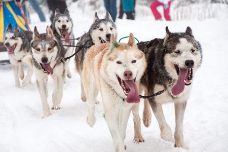Dog sled race with husky dogs photo