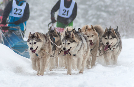Husky dog sled race photo