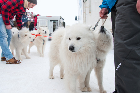 siberian samoyed: BELIS, ROMANIA - FEBRUARY 6: Samoyed dogs ready for the start of the First Dog Sled Racing Contest. On February 6, 2015 in Belis, Romania