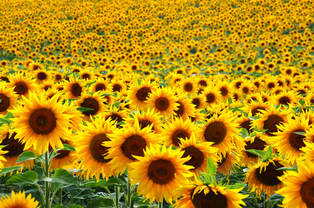 flowers field: Sunflower field