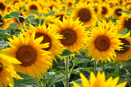 sunflower seeds: Sunflower field