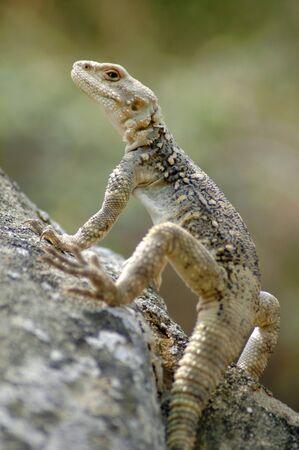 animal viviparous: Lizard in the Caucasus mountains