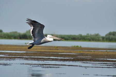 danube delta: White pelican in flight Danube Delta Romania