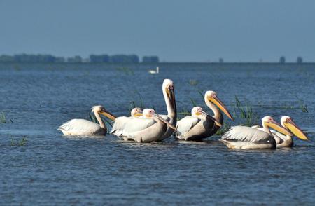 danube: White pelicans in Danube Delta Romania
