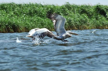 danube delta: White pelican in flight, Danube Delta, Romania
