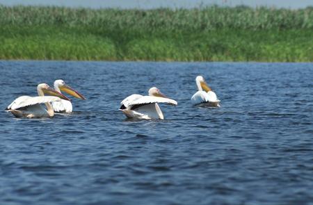 danube delta: White pelican in Danube Delta, Romania