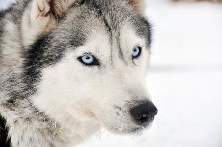 husky: Husky portrait