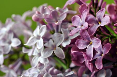 lilac flowers: Lilac flowers Stock Photo